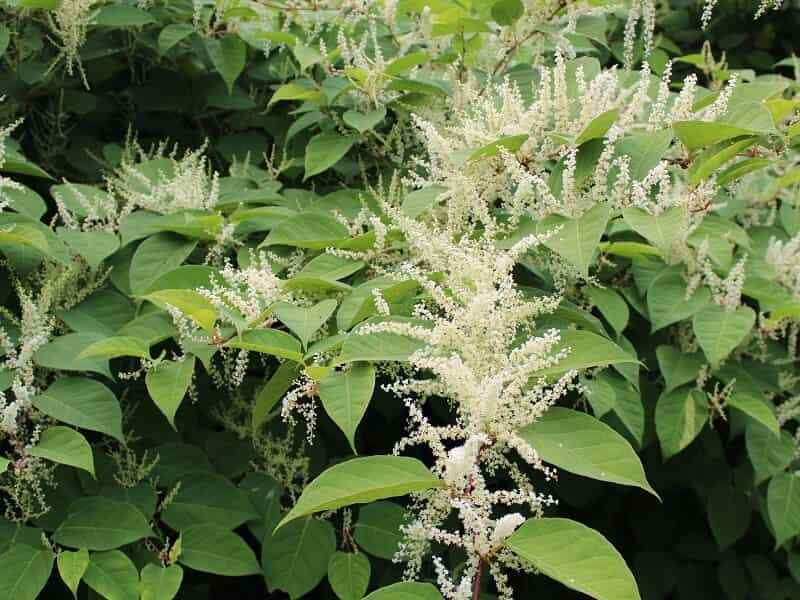 Knotweed spp.